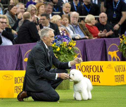 A Westminster Wow Bichon Frise Becomes America 39 S Top Dog