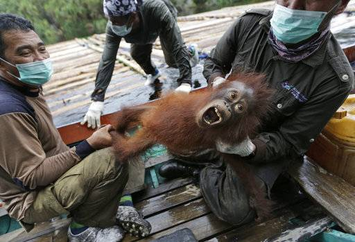In this Friday, Jan. 7, 2016 file photo, conservationists of Borneo Orangutan Survival Foundation hold a baby orangutan rescued along with its mother during a rescue and release operation for orangutans trapped in a swath of jungle destroyed by forest fires in Sungai Mangkutub, Central Kalimantan, Indonesia. The most comprehensive study of Borneo's orangutans estimates their numbers have plummeted by more than 100,000 since 1999, as the palm oil and paper industries shrink their jungle habitat and fatal conflicts with people increase. (AP Photo/Dita Alangkara, File)