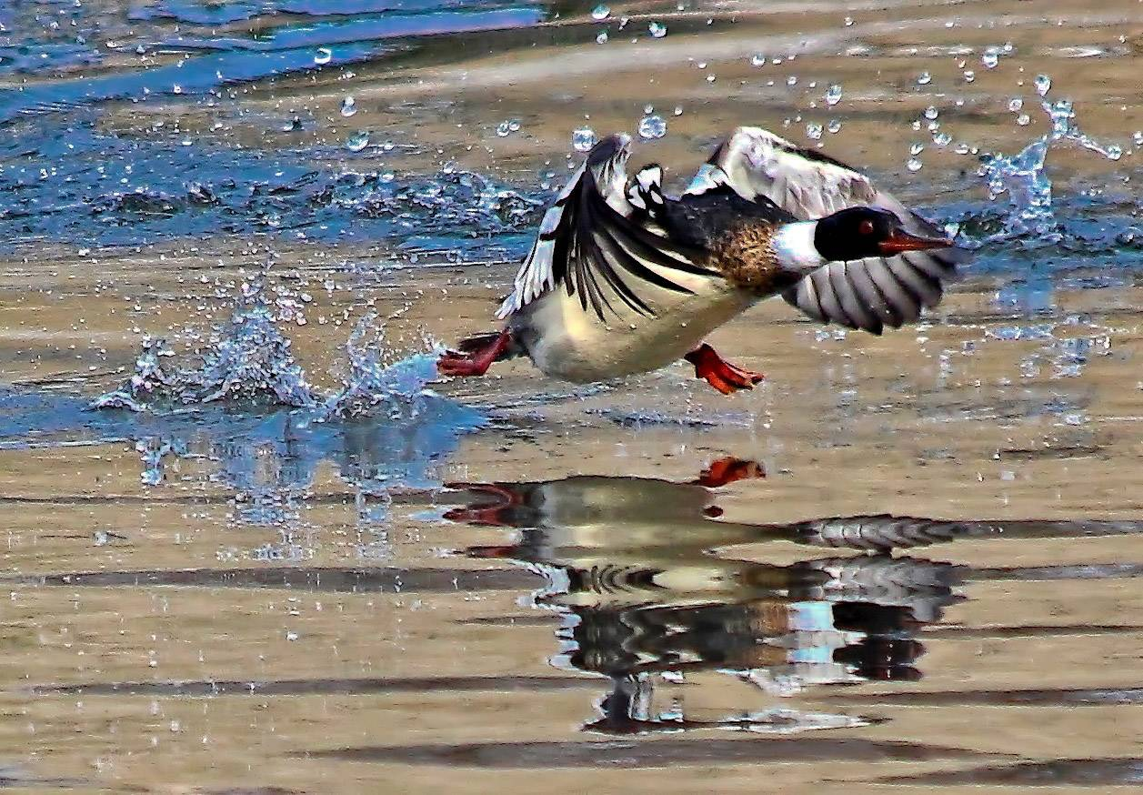 A Merganser takes off from open water near a dam in South Elgin. The bird is a fish-eating duck of freshwater lakes.