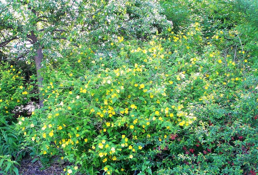 bright golden-yellow flowers bring Kerria japonica out of hiding for several weeks in spring.