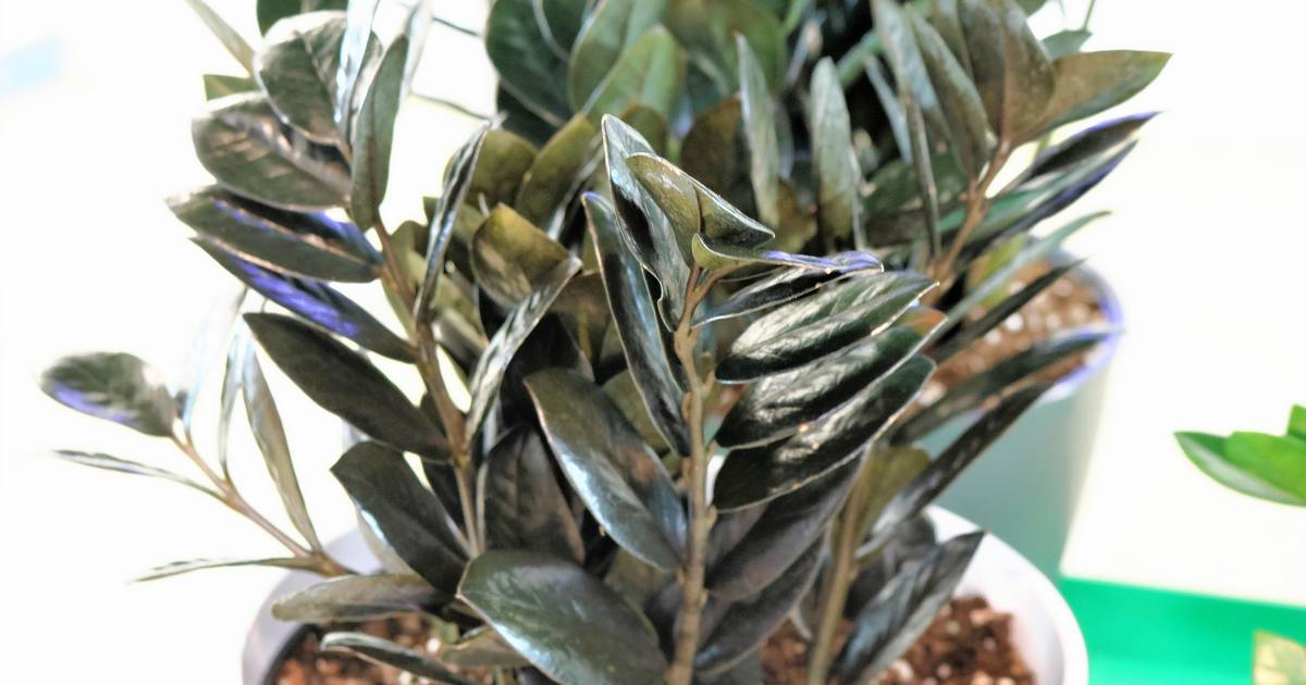 order birds of paradise plant, zamiifolia house plant, spider house plant, fig house plant, houseplants plant, croton house plant, banana house plant, cast iron plant, rubber house plant, hydrangea house plant, peperomia house plant, fern house plant, zi zi plant, arrowhead house plant, umbrella house plant, avocado house plant, eternity plant, house plant identification succulent plant, on zz house plant chinese business