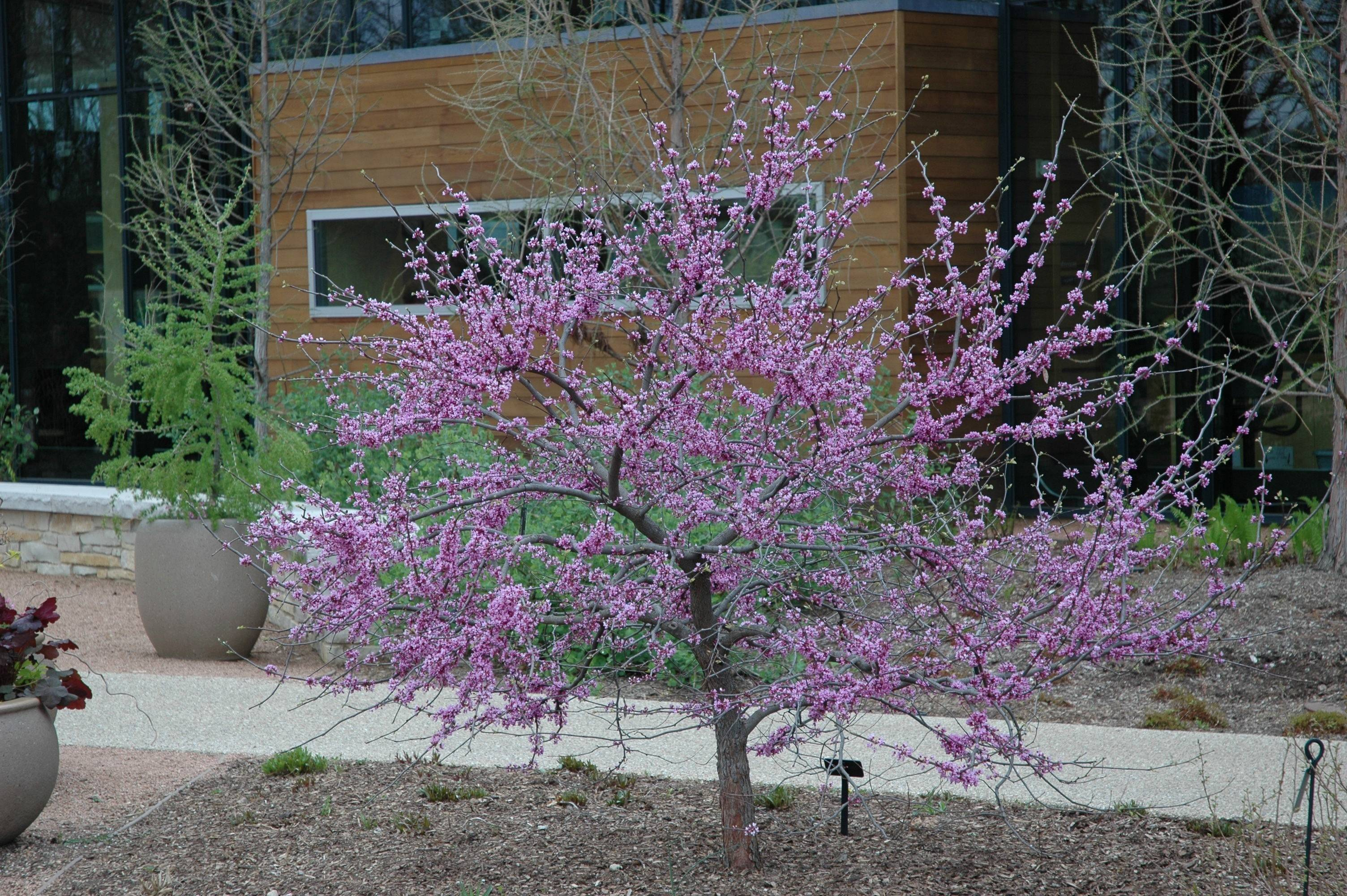 The redbud produces bright purplish-pink flowers that line dark branches before its leaves open.