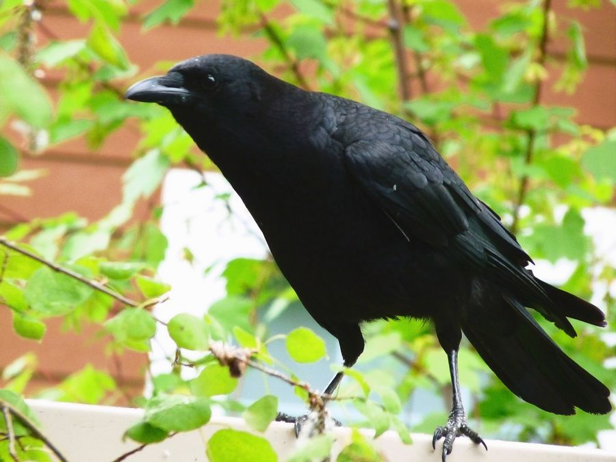 When it comes to our neighborhood birds, you'd be hard-pressed to find one more clever or resourceful than the crow, says bird expert Mark Spreyer.