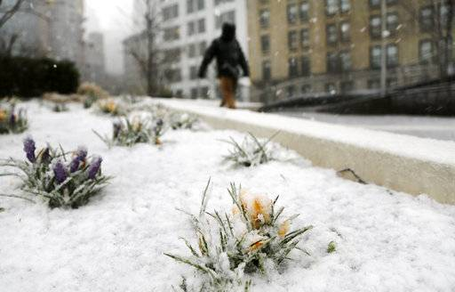 A snowfall coats blooming crocuses, Wednesday, March 7, 2018, in New York. The second big, blustery storm to hit the Northeast in less than a week is bringing wet, heavy snow to a corner of the country where tens of thousands of people are still waiting for the power to come back on from the first bout of wintry weather. The nor'easter has closed schools and government offices, grounded flights and raised fears of another round of fallen trees and electrical outages.