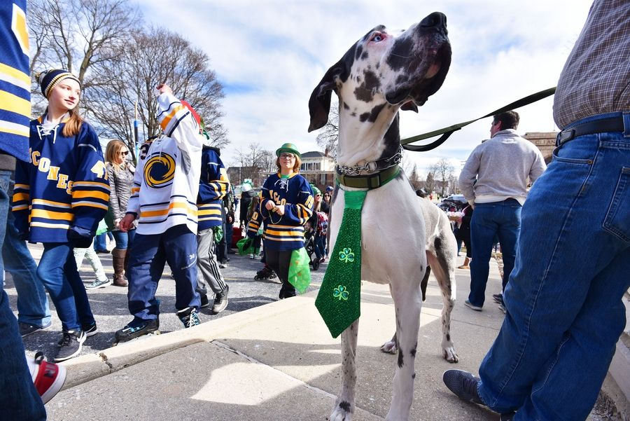 Sampson, a 150-pound Great Dane puppy, wears a green tie Saturday during the St. Patricks Day parade along Main Street in St. Charles. He was with his owner, Tom Marcotte of St. Charles.