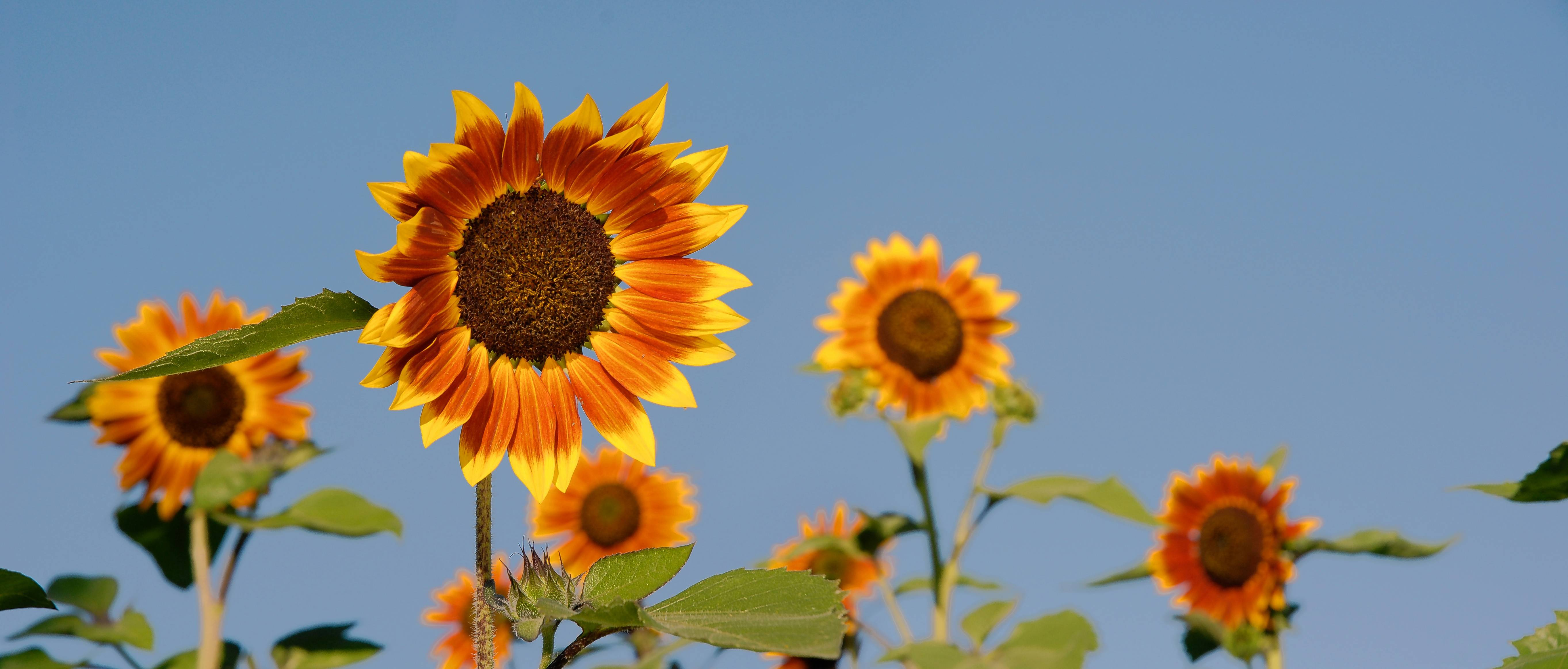 If you want to attract more birds to your yard, consider planting sunflowers this spring.