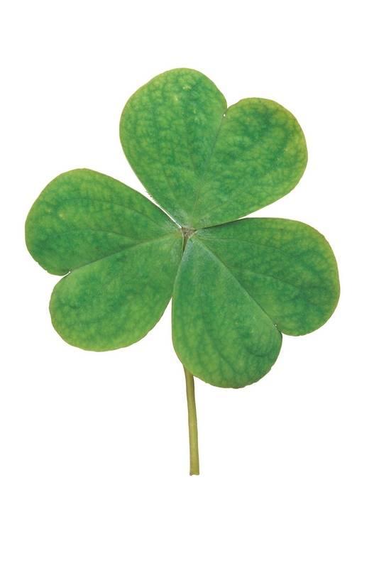 Recessive genes, temperature produce four-leaf clover