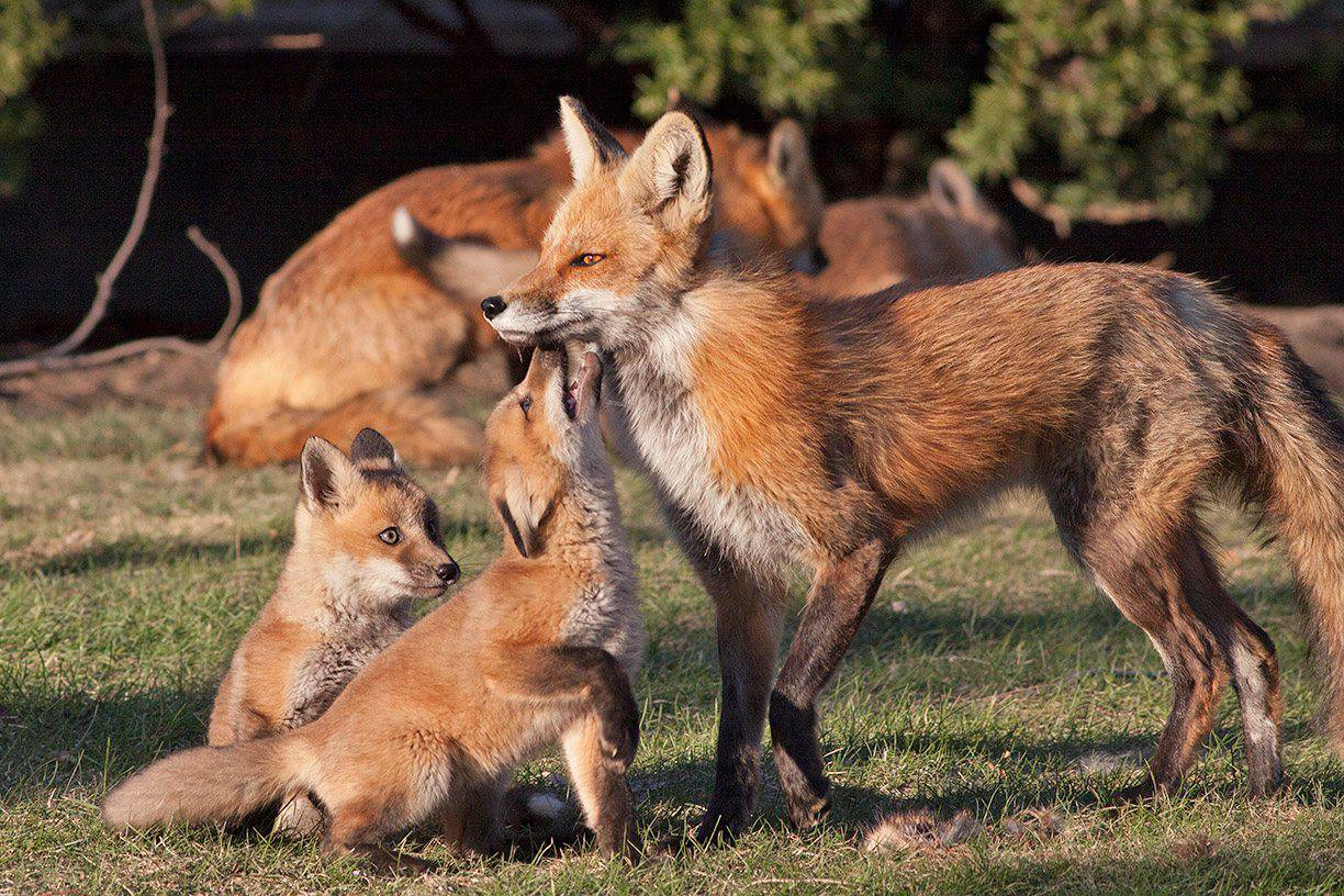 A family of red foxes comes together in Arlington Heights.