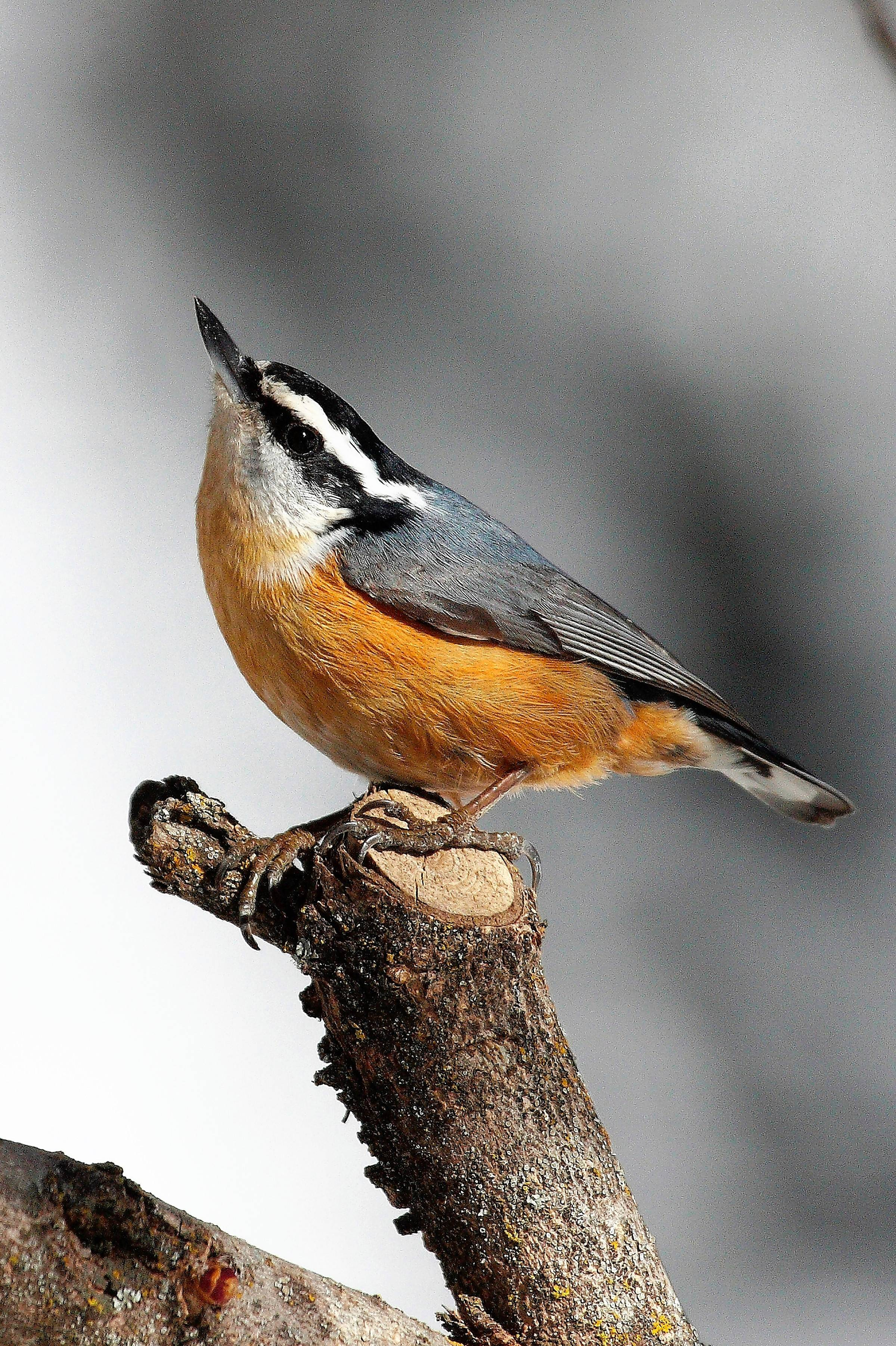 Photos of red breasted nuthatch