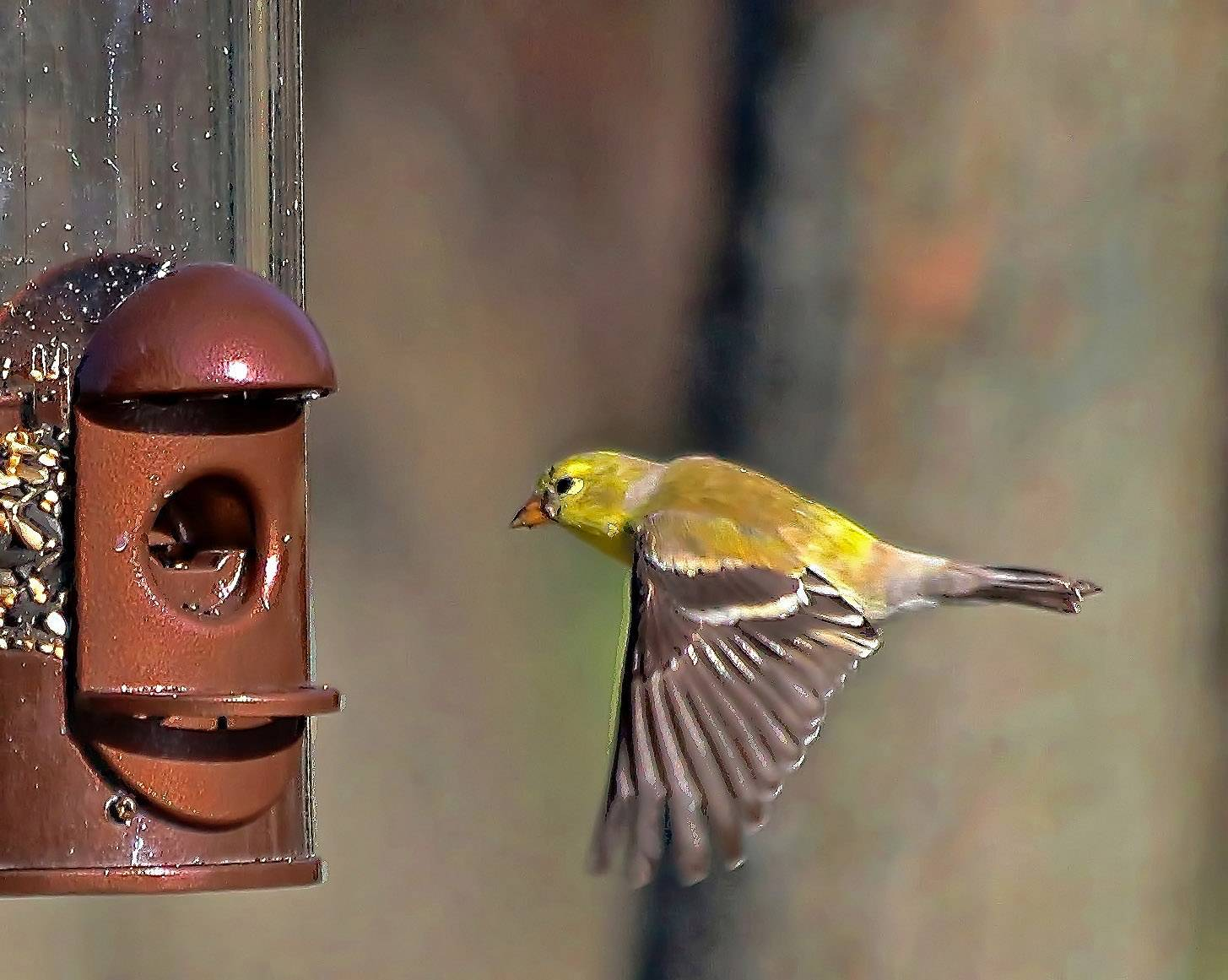 A male goldfinch prepares for a meal in an Arlington Heights backyard.