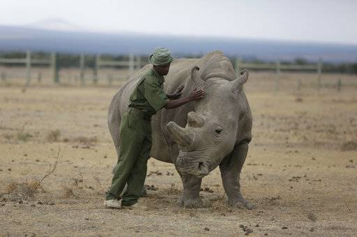 FILE - In this Friday, March 2, 2018 file photo, keeper Zachariah Mutai attends to Fatu, one of only two female northern white rhinos left in the world, in the pen where she is kept for observation, at the Ol Pejeta Conservancy in Laikipia county in Kenya. According to four new United Nations scientific reports on biodiversity released on Friday, March 23, 2018, Earth is losing plants, animals and clean water at a dramatic rate. (AP Photo/Sunday Alamba)