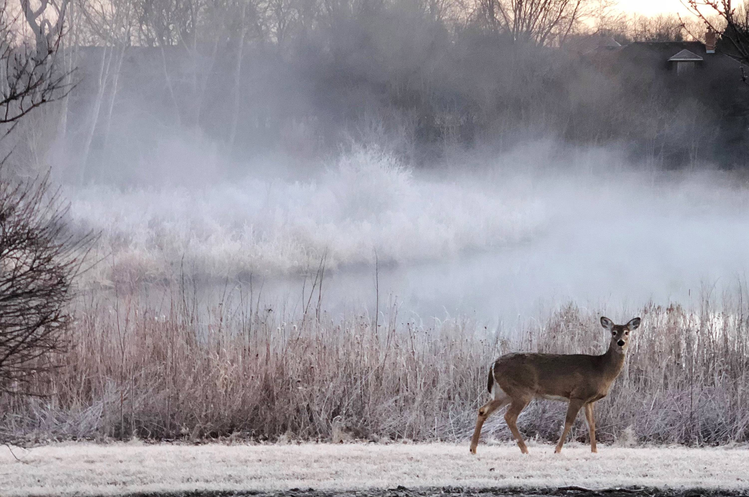 A deer walks past a pond as the mist rises on the morning of Mar 23 in Hoffman Estates