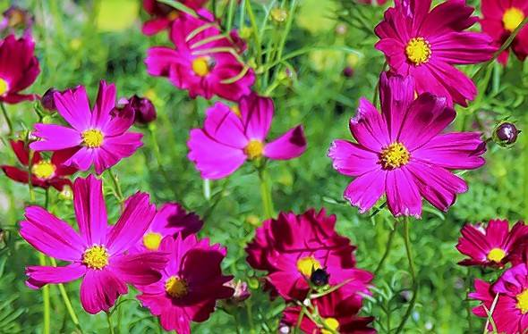 Cosmos are one of the easiest flowers to grow from seed.