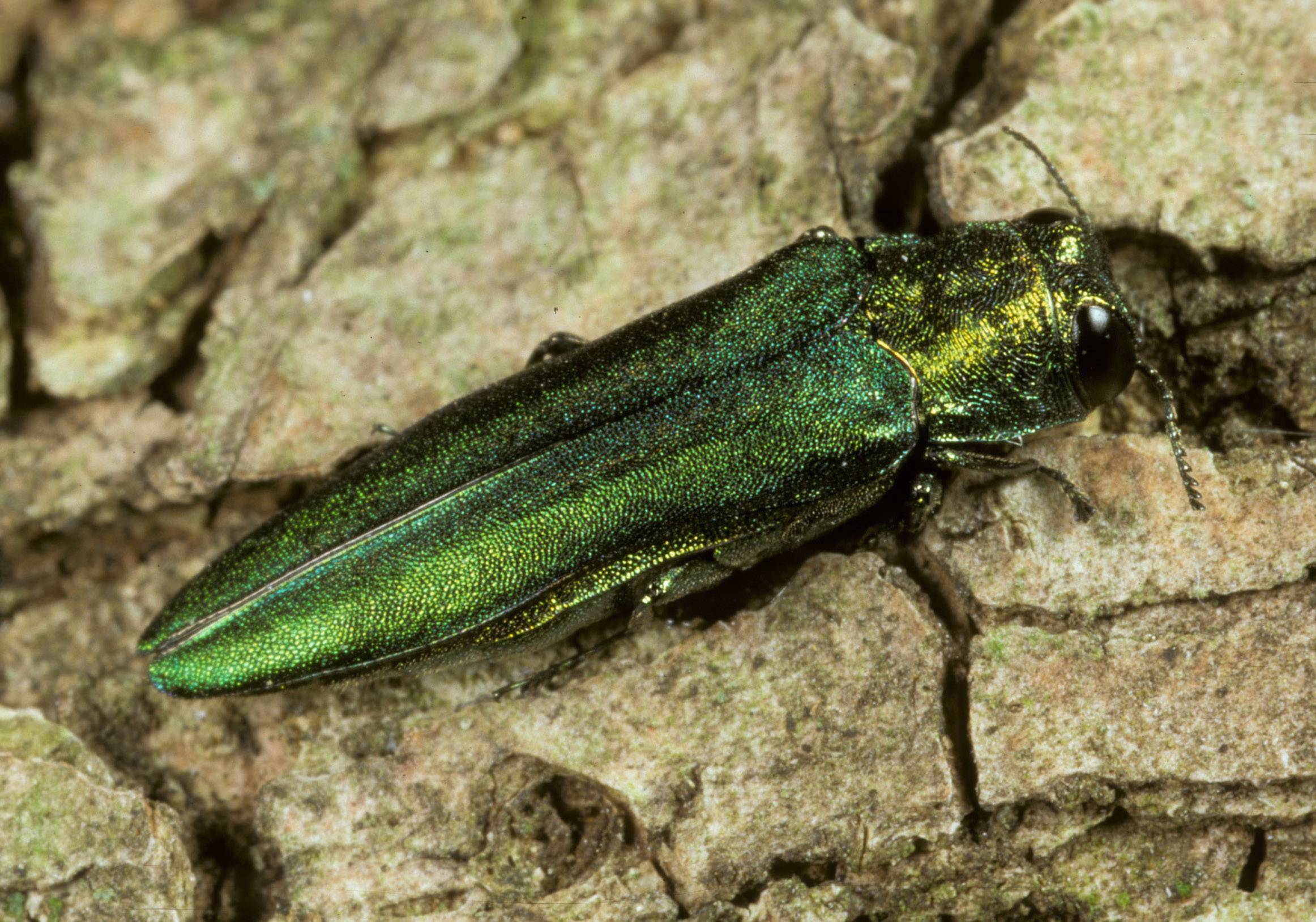 The emerald ash borer has been present in Kane County since at least 2006.