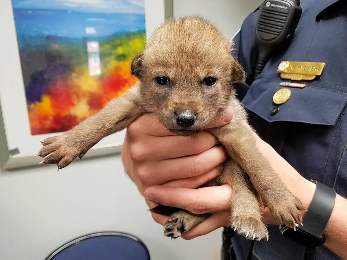 A lost baby coyote was mistaken for a stray puppy and turned over to Bartlett police Thursday morning by a resident who found it along a busy road. The coyote pup was turned over to the Willowbrook Wildlife Center in Glen Ellyn.