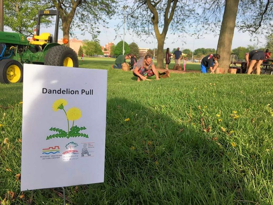 Participants in an hourlong Dandelion Pull on Thursday evening at Knoch Park in Naperville removed 122 pounds of dandelions from the area near the playground at 724 S. West St.