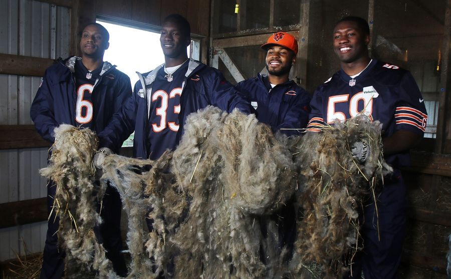 Chicago Bears rookies Shaq Roland, left, Kevin Toliver II, Garrett Johnson and Roquan Smith show the wool sheared from a sheep Monday at Lambs Farm in Green Oaks.