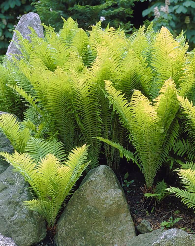 Ferns are shade-loving plants that don't need much light to grow.