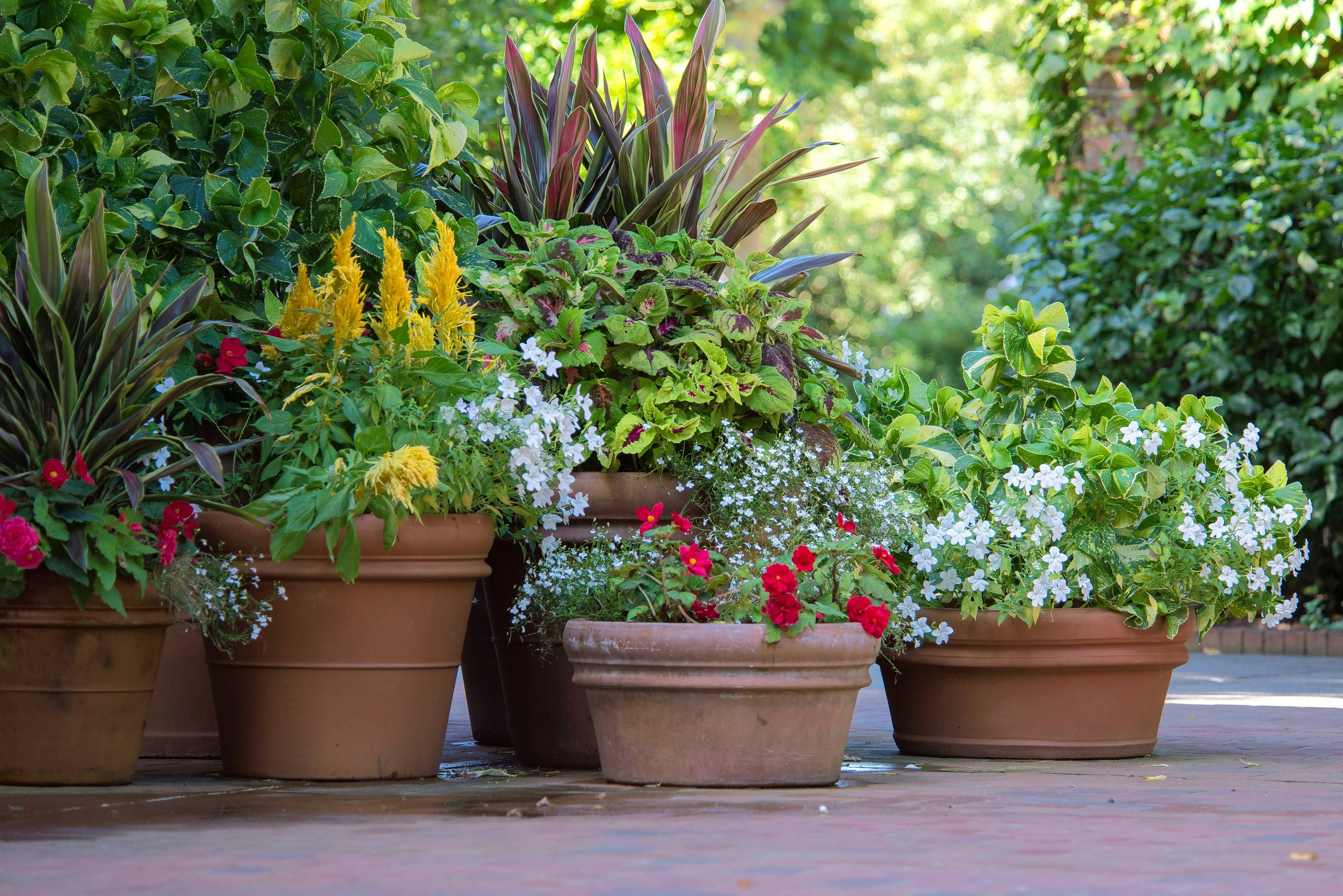 Large houseplants in plastic pots should be slipped into larger, heavier pots to prevent them from falling over in the wind.