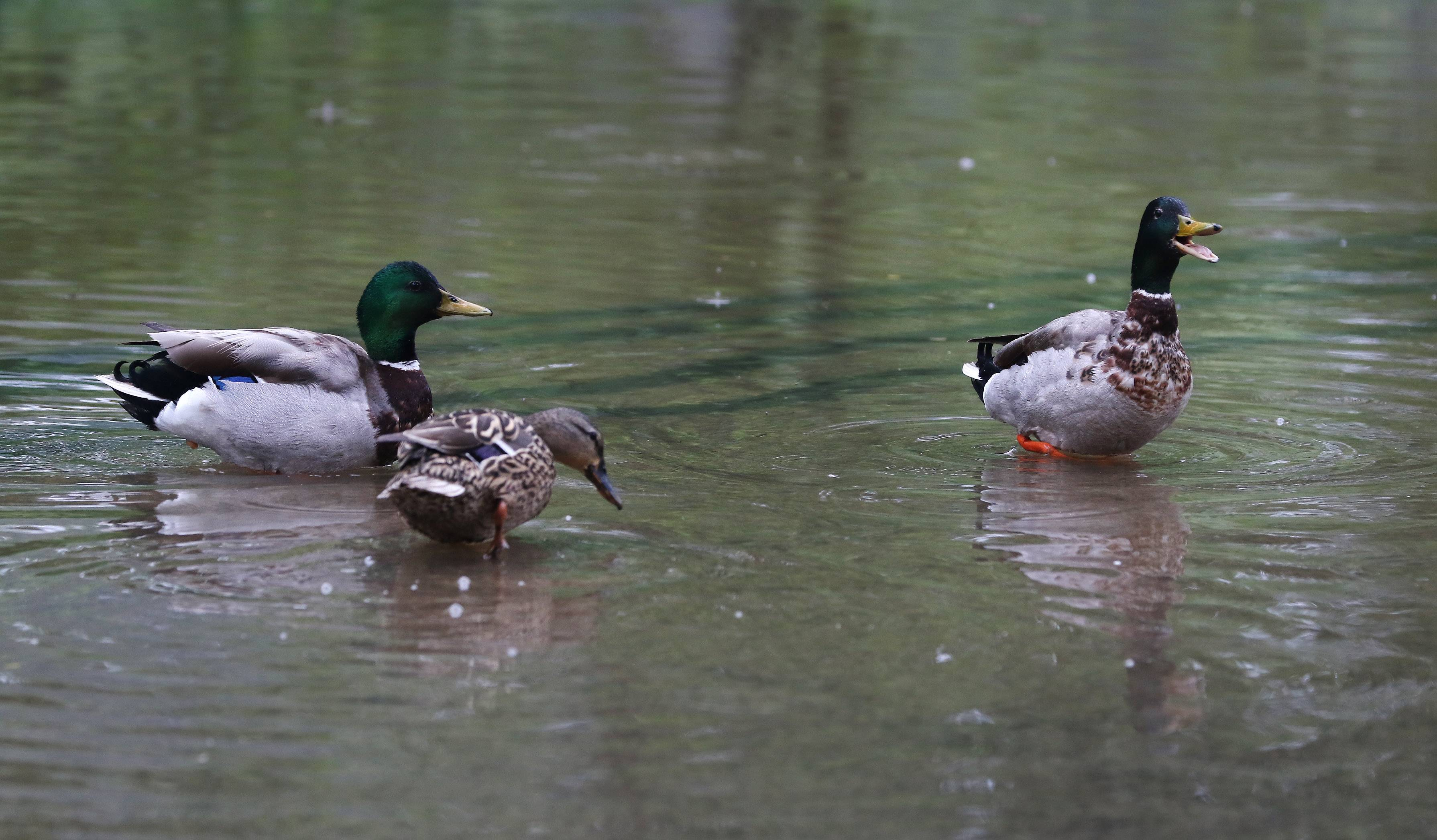 Ducks enjoy Hillside Avenue all to themselves after it was flooded near Willow Road in Prospect Heights on Sunday.