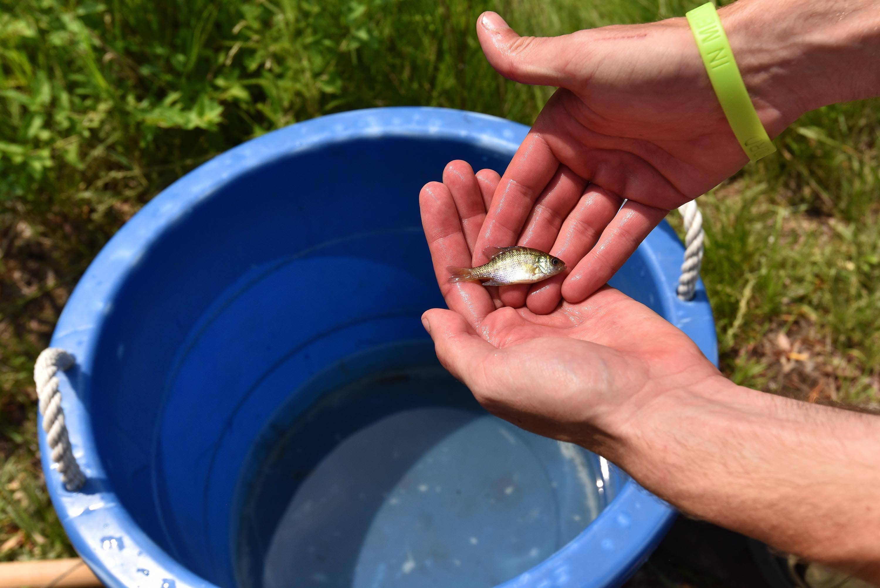 A tiny bluegill was one of seven different species of fish collected Tuesday from a creek on the Sanfilippo estate.