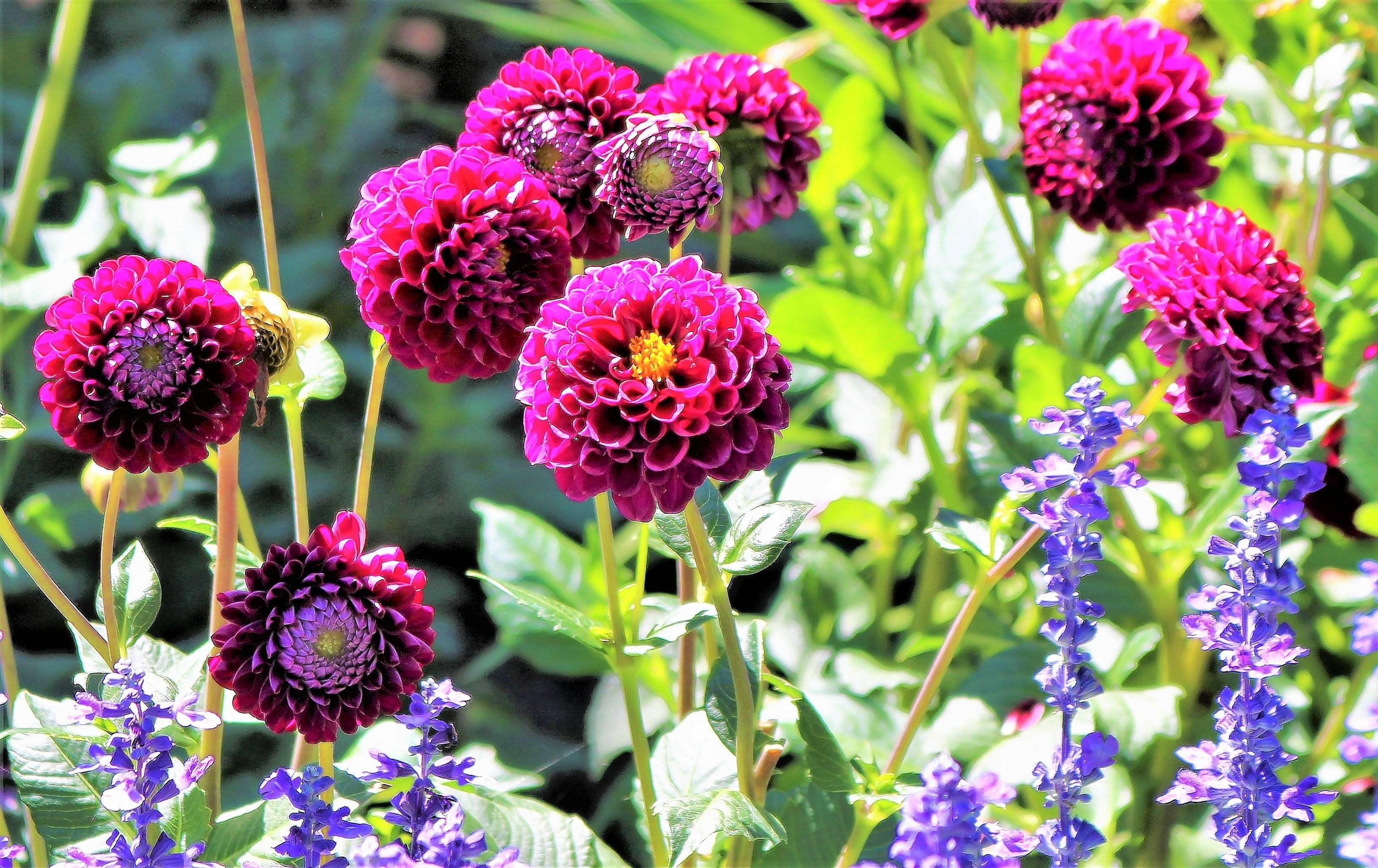 Some dahlias sport ball-shaped blooms.