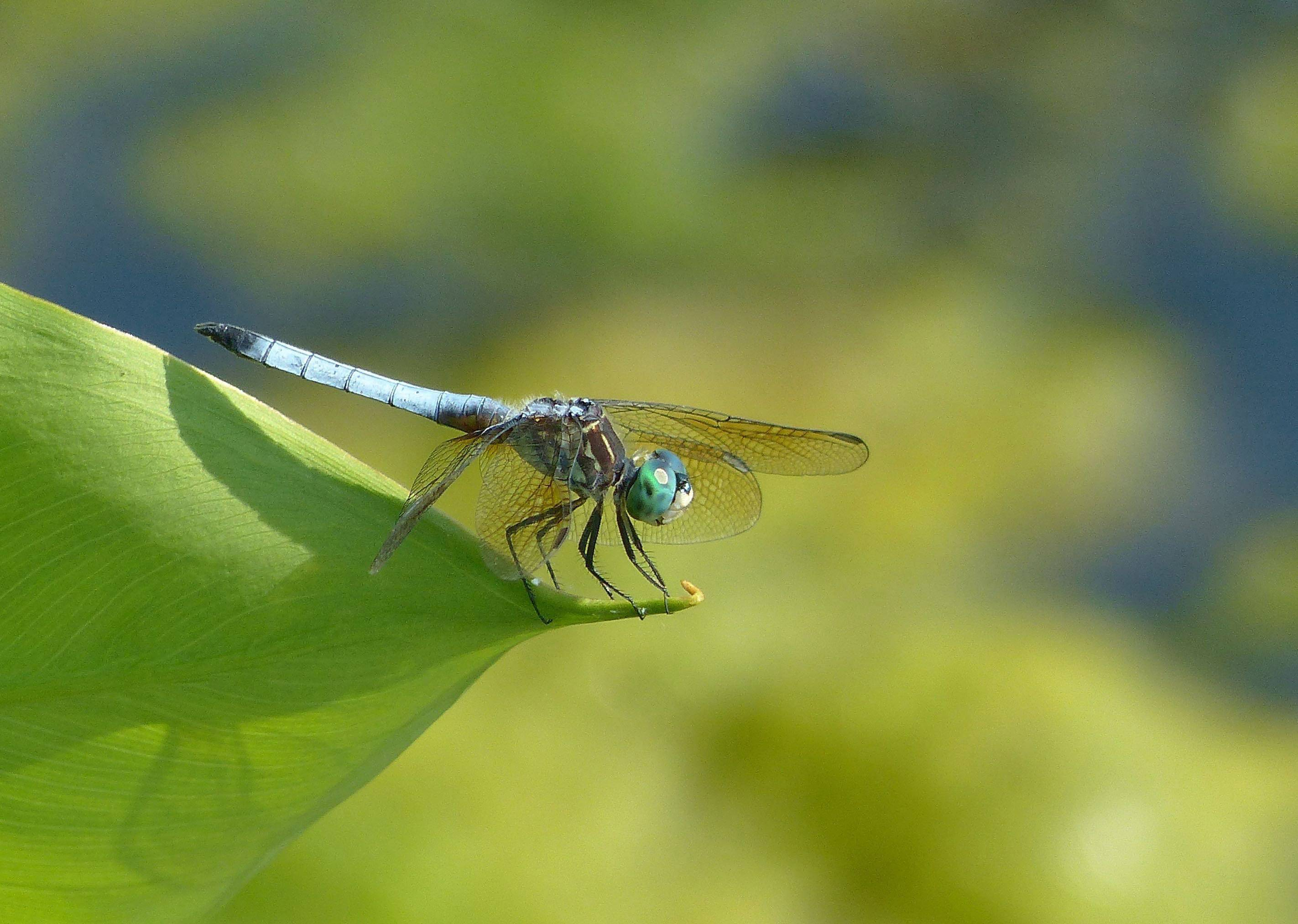 A dragonfly sits on a leaf at Nippersink Woods on Route 120 near Volo last week.