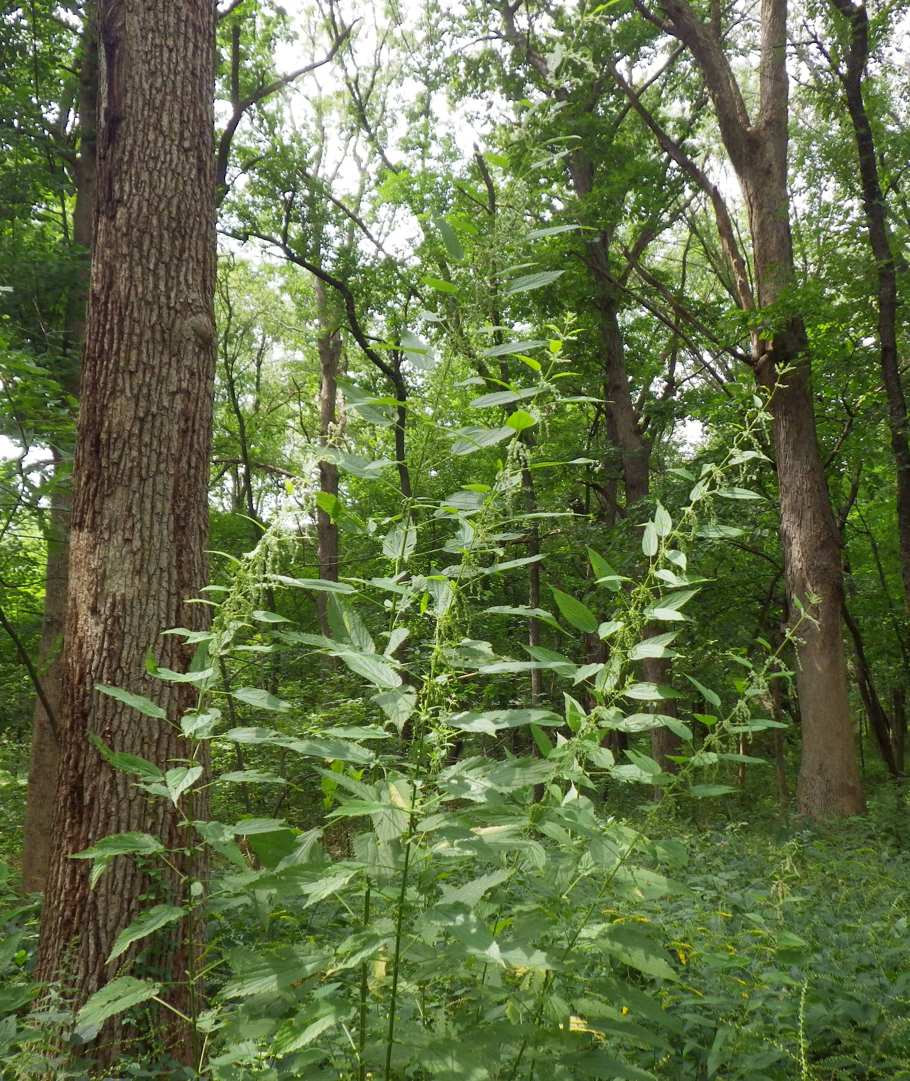 Nettles are tall green plants that are in their prime from midsummer to fall.
