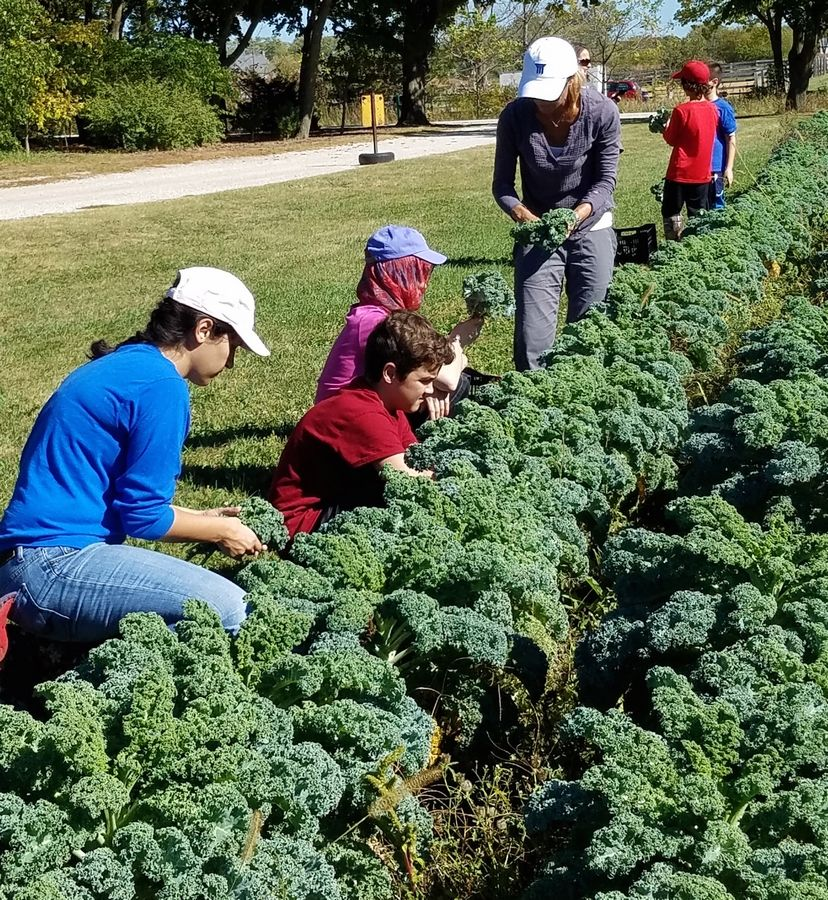 Gleaning Program volunteers harvest kale from the field at Prairie Wind Family Farm on the Prairie Crossing Farm in Grayslake. The Gleaning Program results annually in more than 5,000 pounds of fresh vegetables donated to food pantries and community groups.