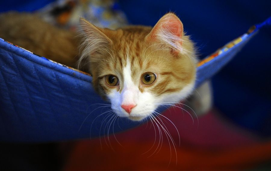 Love cats? The Meow Meetup in Rosemont will offer a chance to hang out with fellow feline fanciers.