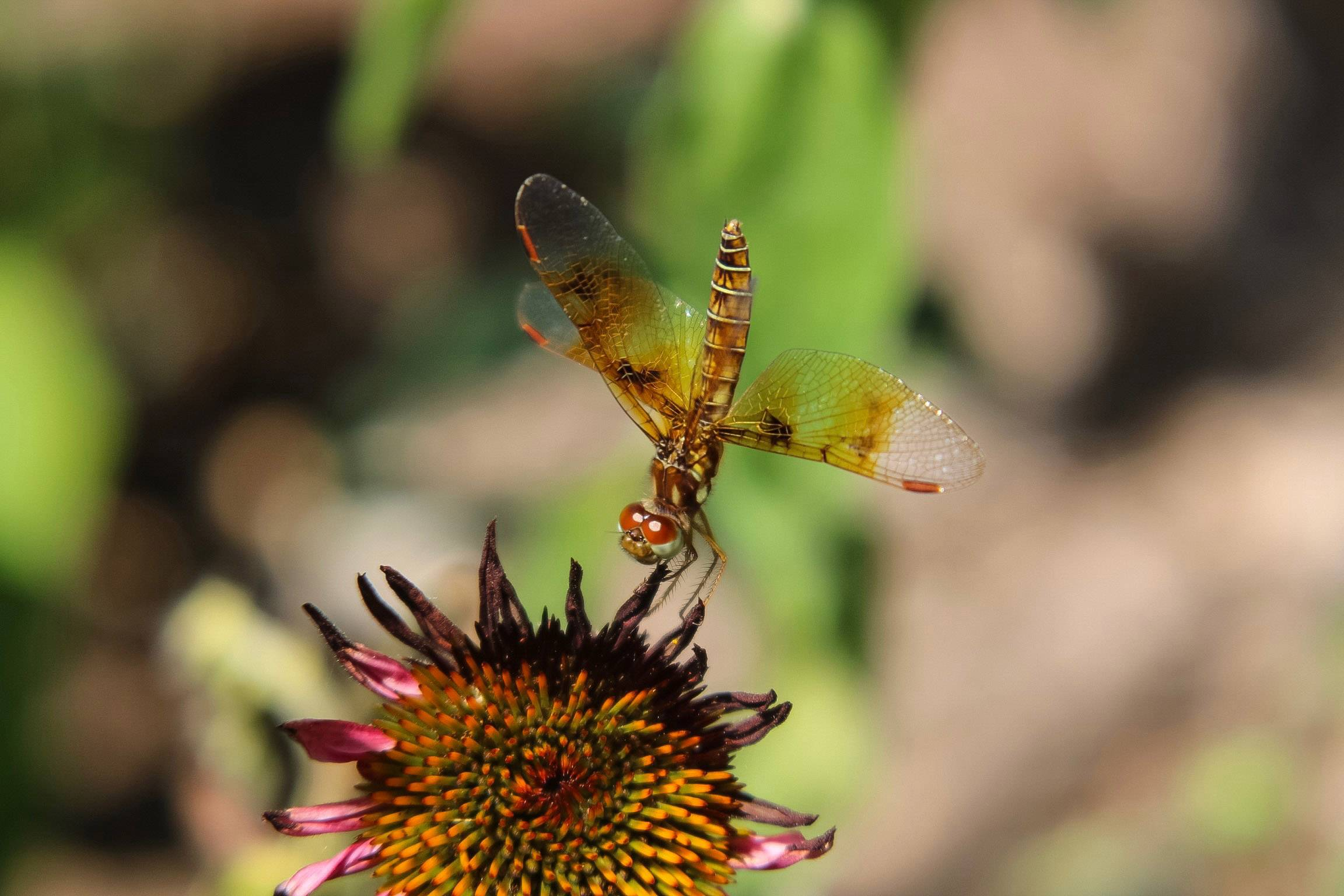 A Halloween pennant dragonfly hangs onto a purple coneflower. It gets their name because of the orange and black colors and the fact that they perch on plants and wave in the breeze like pennants.