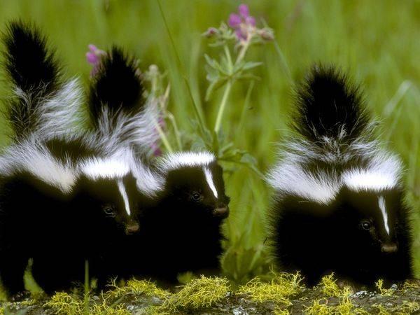 Suburban skunk epidemic survival tips