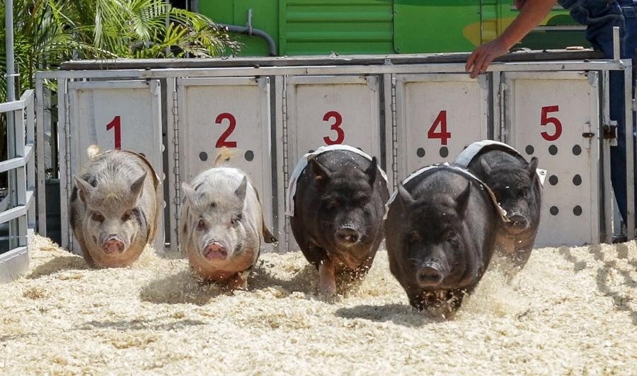 "Pot bellied pigs run out of the gate for the ""Show-Me Swine"" pig races during the opening day of the DuPage County Fair in Wheaton."