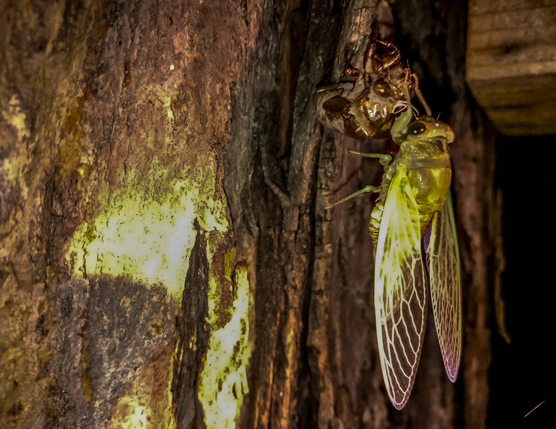 Cicadas emerging from their exoskeleton on a tree in Hoffman Estates.