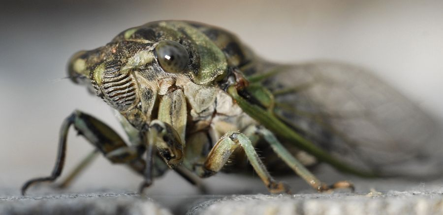 Annual cicadas, in the group of short-legged insects called Homoptera, have complex sound organs. Their famously noisy cousins, the 17-year periodical cicadas, last emerged in 2007 and are due across the region in 2024.