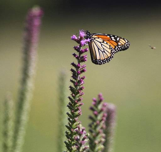 In this July 10, 2018 photo, A monarch butterfly lights atop a blazing star at Jim Barker's farm  in rural in McLeansboro, Ill. Barker has planted tracts of prairie grasses and flowers at his farm, rather than planting set-aside land in fescue. In doing so, Barker has transformed his property into small patches of prairie that resemble what Hamilton County would have looked like before modern agriculture. (Les Winkeler/The Southern, via AP)