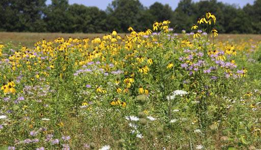In this July 10, 2018 photo, native prairie flowers Jim Barker has planted on his farm bloom in  McLeansboro, Ill. Rather than planting set-aside land in fescue, Barker has transformed his property into small patches of prairie that resemble what Hamilton County would have looked like before modern agriculture. (Les Winkeler/The Southern, via AP)
