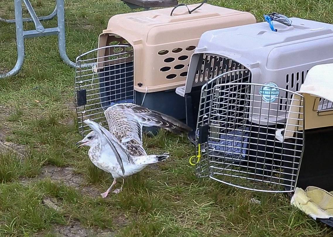 Seven seagulls were treated at Willowbrook Wildlife Center in Glen Ellyn for injuries sustained in June when they fell from the rooftop of a South Loop building.