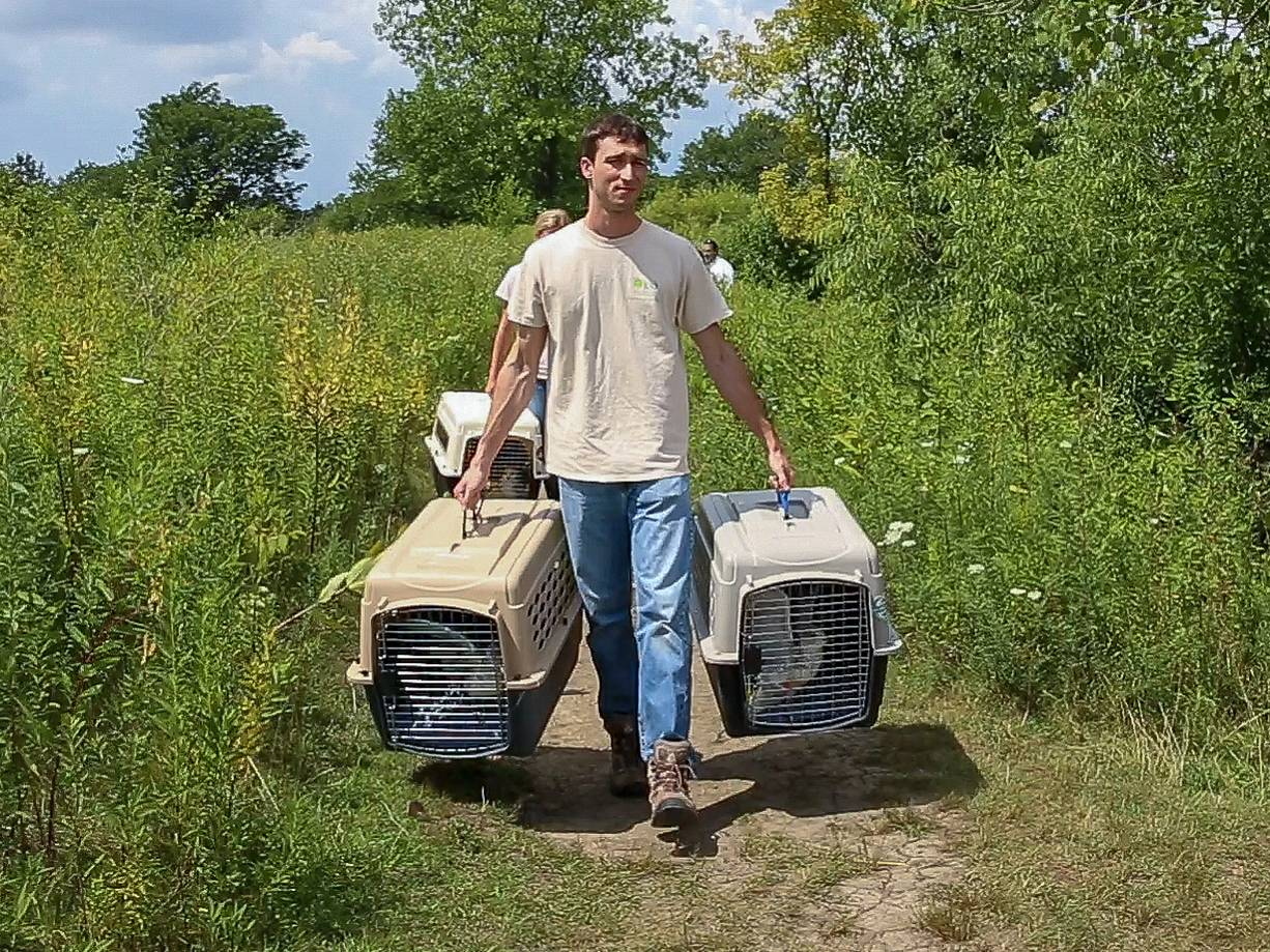 Sean Spratt, wildlife keeper with Willowbrook Wildlife Center, carries seagulls to be released Wednesday at Songbird Slough Forest Preserve near Itasca.