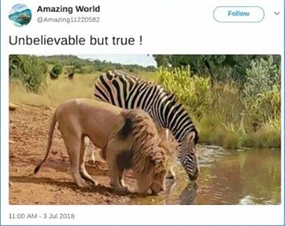 A widely shared image of a lion and a zebra side by side at a watering hole is peaceful and pretty, but fake.