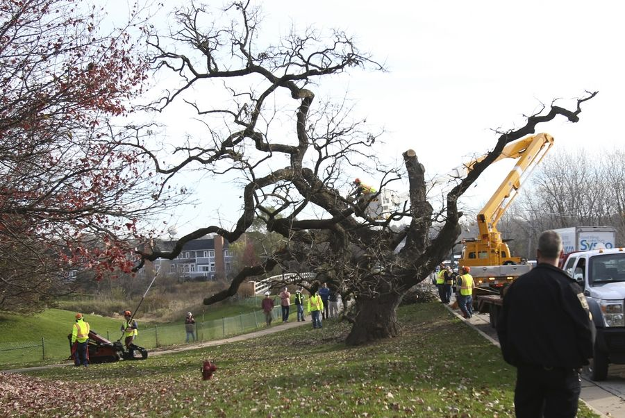 The Hobson Oak meets its demise in November 2016, setting off a preservation project in which artists are turning it into woodcrafts to be auctioned for charity. The first auction of Hobson Oak works is set for Saturday, Aug. 25, to benefit Loaves & Fishes Community Services, the Naperville Parks Foundation and the Morton Arboretum.