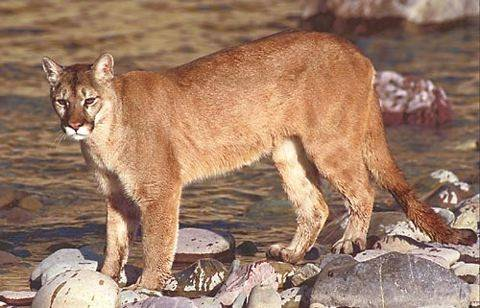 cougar spotted in streamwood here s why more could be on the way