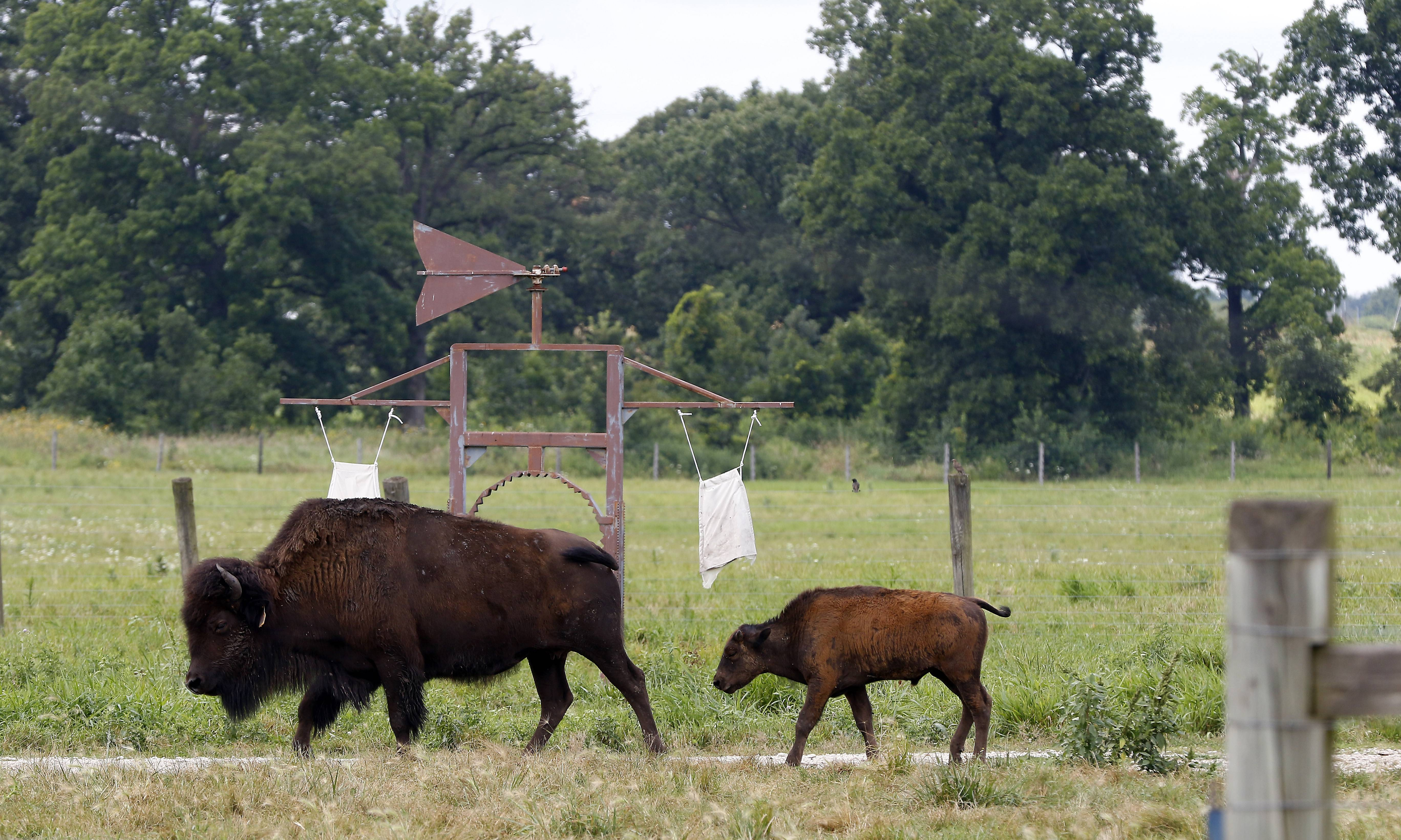 Bison head back to rest after feeding at Fermi National Accelerator Laboratory in Batavia.