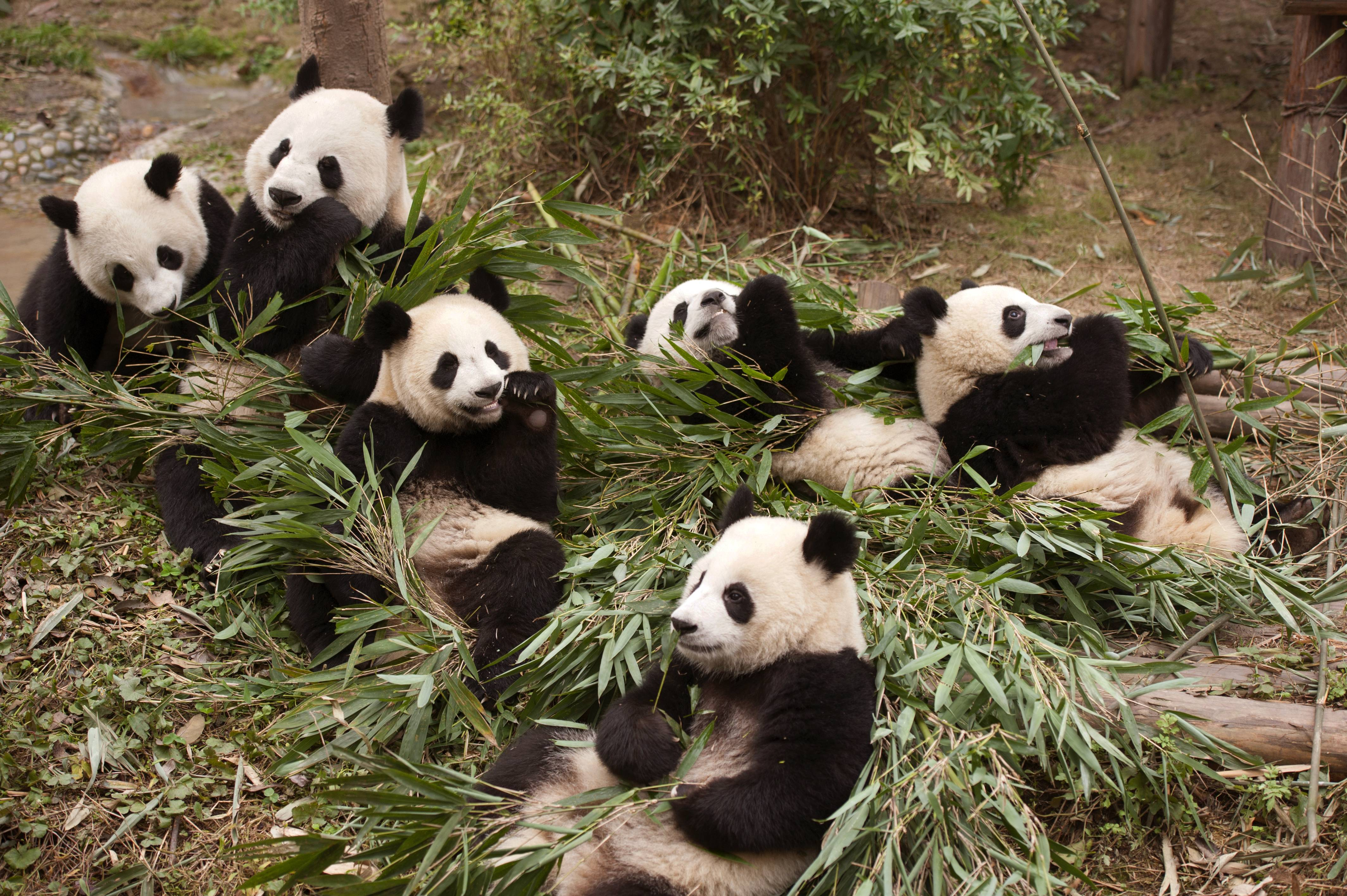 "The documentary ""Pandas"" takes audiences to the Chengdu Research Base For Giant Panda Breeding in China where scientists are working toward a goal of releasing captive-born pandas into the wild."