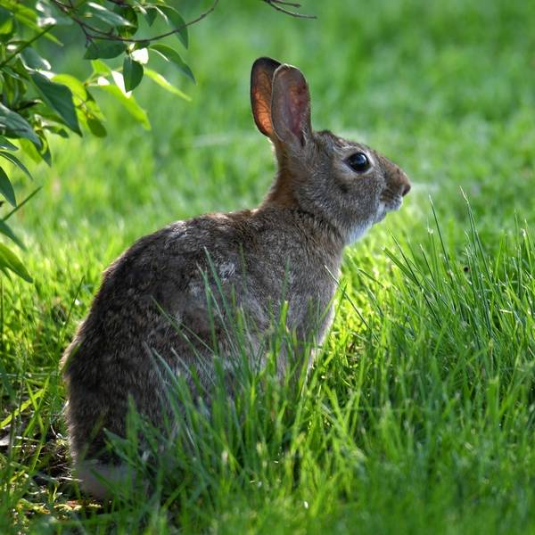 An Cottontail Has Speckled Gray Brown Fur Above With Lighter Underneath And Around