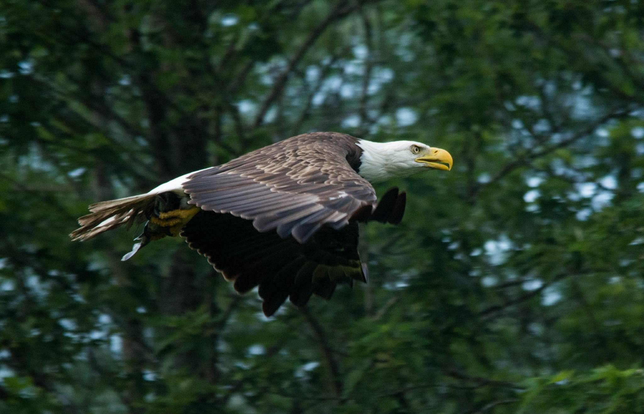 A bald eagle seen in Mooseheart.