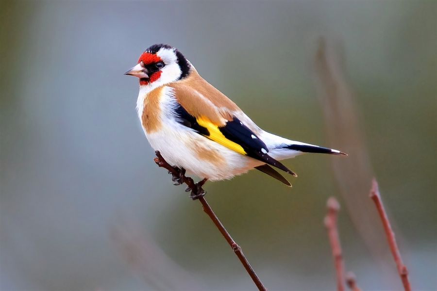 The handsome European goldfinch is unmistakable, and tracking one down in our region is easier than ever. For now, however, the species is not officially countable for birders who spot it on this side of the Atlantic.
