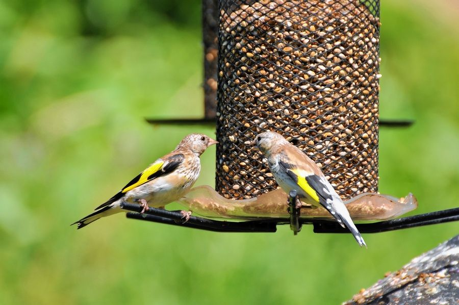 European goldfinches, including these juveniles, enjoy unlimited safflower at The Bird Nest in Kenosha, Wisconsin.
