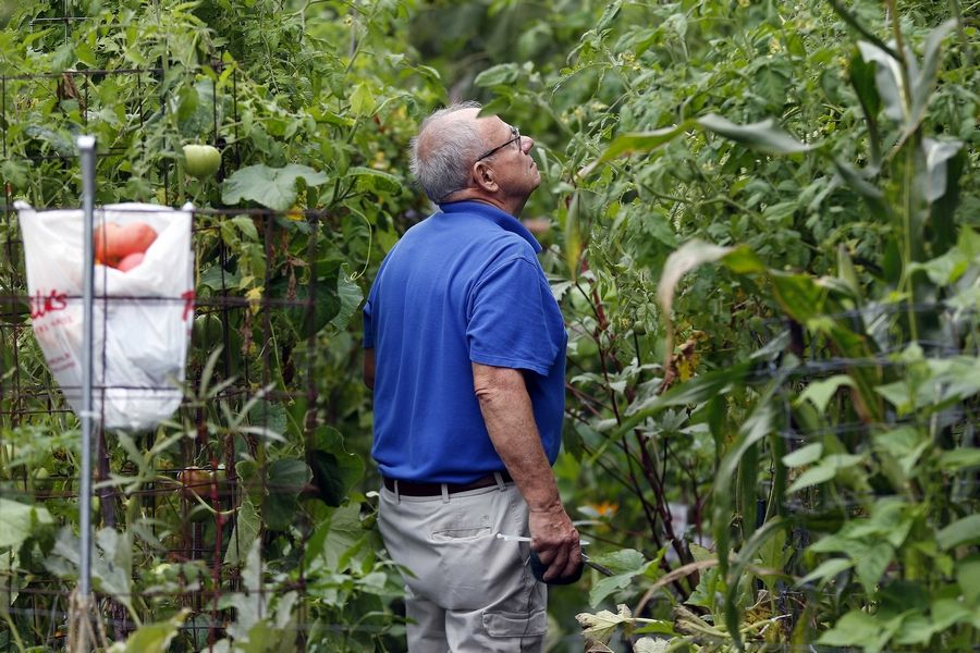 Fritz Porter looks over vegetables that veterans grow and harvest at the gardens at Cantigny Park in Wheaton. A group of veterans involved with the Aurora Vet Center tends the gardens each Saturday morning during the growing season.