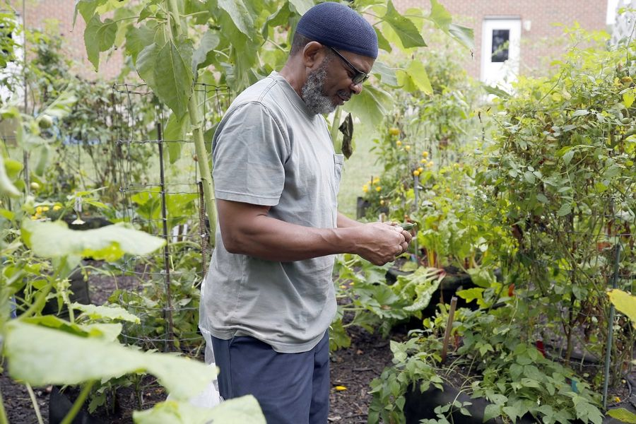 Army veteran Kenneth Williams of Chicago harvests from gardens Saturday at Cantigny Park in Wheaton.